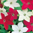Nicotiana Little Nicky Seeds