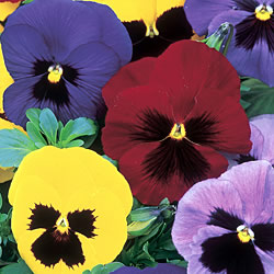 Pansy Winter Flowering Seeds