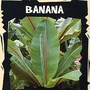 Exotic : Banana (Ensete Ventricosum) 1 packet (5 seeds)