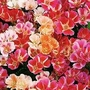 Godetia Grandiflora Improved Dwarf Mixed 1 packet (1500 seeds)