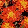 French Marigold Spanish Brocade 1 packet (110 seeds)