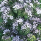 Phacelia Cottage Garden Seeds
