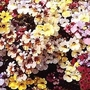 Nemesia Strumosa Carnival Mixed 1 packet (600 seeds)