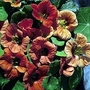 Nasturtium Peach Melba 1 packet (20 seeds)