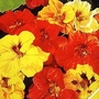 Nasturtium Double Gleam Mixed 1 packet (30 seeds)