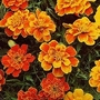 French Marigold Queen Series Mixed 1 packet (75 seeds)