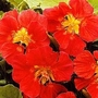 Nasturtium Whirlybird Cherry 1 packet (25 seeds)