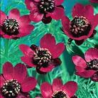 Pheasants' Eyes Scarlet Chalice Seeds