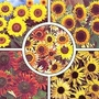 Sunflower For Cutting Collection 1 packet (5 foils) (70 seeds)