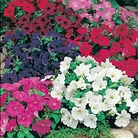 Petunia Fine Mixed Seeds
