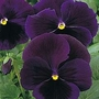 Pansy Bingo Deep Purple F1 1 packet (20 seeds)
