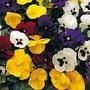 Pansy Universal Mixed F1 1 packet (35 seeds)