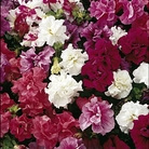 Petunia Duo Mixed Seeds