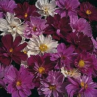 Cosmos Bipinnatus Psyche Mixed 1 packet (100 seeds)