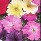 Petunia Celebrity Mixed Seeds