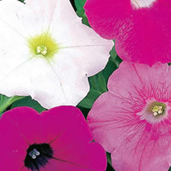 Petunia Flower Shower Seeds
