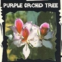 Exotic : Purple Orchid Tree (Bauhinia Variegata) 1 packet (5 seeds)