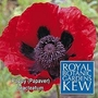 Kew : Poppy (Papaver) Bracteatum 1 packet (100 seeds)