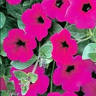 Petunia Purple Wave Seeds (Trailing)