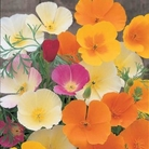 Poppy Californian Superb Mixed Seeds