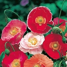 Poppy Shirley Double Mixed Seeds