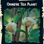 Exotic : Chinese Tea Plant (Camellia Sinensis) 1 packet (5 seeds)