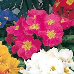 Primrose Spring Joy Seeds
