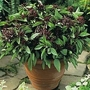 Basil : Siam Queen (Ocimum Minimum) 1 packet (100 seeds)