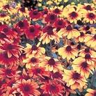 Rudbeckia Rustic Dwarf Seeds