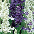 Salvia Wedgwood Seed Blend