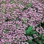 Scabious Pinchushion Mixed Seeds