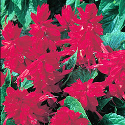 Salvia Red Riches Seeds