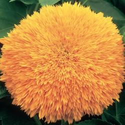 Sunflower Jammie Dodger Seeds