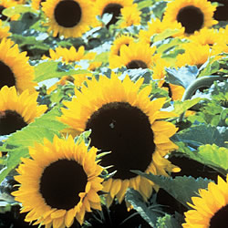 Sunflower Toyshop Seeds