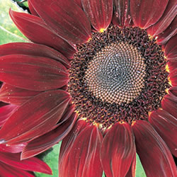 Sunflower Moulin Rouge Seeds