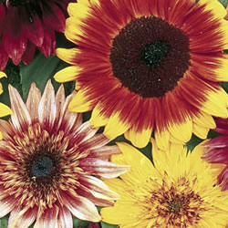 Sunflower Vincent's Mixed Seeds