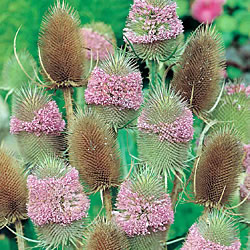 Teasel Winter Bouquet Seeds