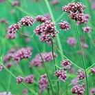 Verbena bonariensis Purple Top Seeds