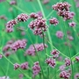 Verbena bonariensis Purple Top Seeds