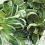 Salad Leaves : Corn Salad Cavallo 1 packet (650 seeds)