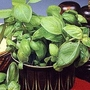 Basil : Sweet Green (Ocimum Minimum) 1 packet (400 seeds)