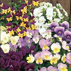 Viola Spring Sherbets Seeds