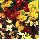 Wallflower Bedding Mixed Seeds