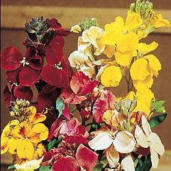 Wallflower Fair Lady Mixed Seeds