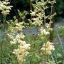 Meadow Sweet (Filipendula Ulmaria) 1 packet (500 seeds)