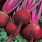 Beetroot Solo Seeds