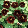 Nasturtium 'Black Velvet' 1 packet (15 seeds)