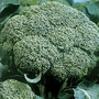 Calabrese Olympia Seeds