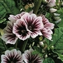 Malva Sylvestris &#x27;Zebrina&#x27; 1 packet (50 seeds)