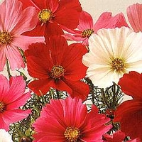 Cosmos Bipinnatus Sensation Mixed 1 packet (200 seeds)